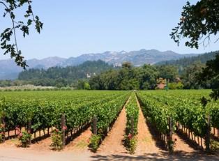 an array of grapes among a grove in Napa Valley California
