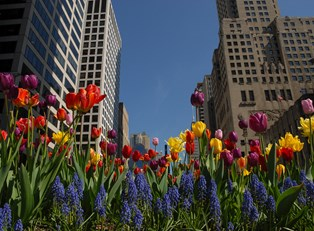 colorful tulips line the Magnificent Mile