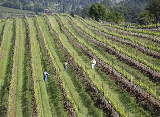 workers tend to a napa valley winery vineyard