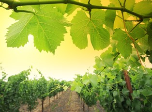 the sun peeks through some grape leaves in a napa valley wine vineyard