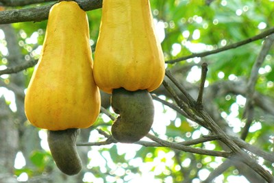 Cashews are a surprisingly dangerous food in their raw state.