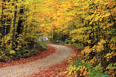 Green Mountain National Forest turns a beautiful shade of yellow in Autumn.