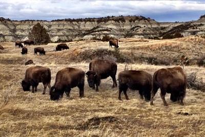Buffalo roam the North Dakota countryside.