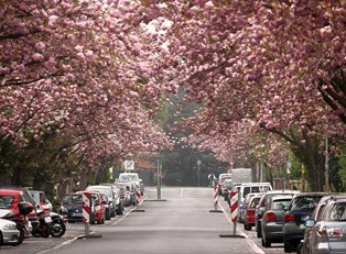 cherry blossoms bloom over streets in bonn germany