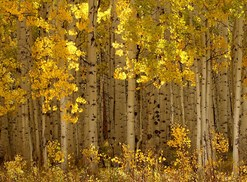 The golden Aspens of Kebler Pass in Colorado make it one of the most beautiful forests in the world.